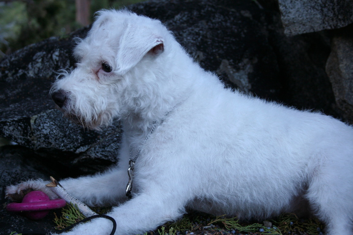 Jack Russell Terrier Rescue - Seaview Pelucita